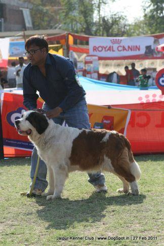 st bernard,sw-34, Jaipur Kennel Club, DogSpot.in