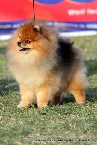 ex-12,pomeranian,sw-34, ESTE 'RA EMPEROR MARIO, Pomeranian, DogSpot.in