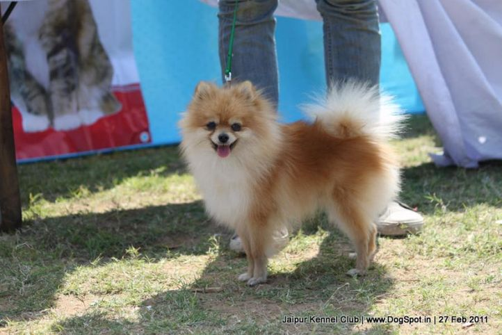 pomeranian,sw-34, Jaipur Kennel Club, DogSpot.in