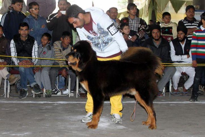 ex-178,sw-82,tibetan mastiff,, GUMTALA'S STEALIN HEART, Tibetan Mastiff, DogSpot.in