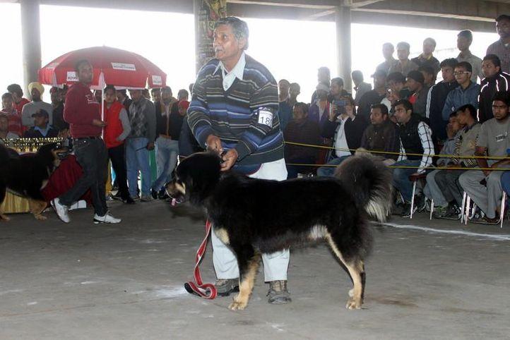 ex-180,sw-82,tibetan mastiff,, Tiger, Tibetan Mastiff, DogSpot.in