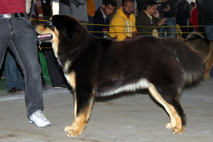 ex-184,sw-82,tibetan mastiff,, GUMTALA'S BRUNO, Tibetan Mastiff, DogSpot.in