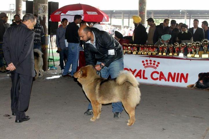 ex-186,sw-82,tibetan mastiff,, BRUNY, Tibetan Mastiff, DogSpot.in