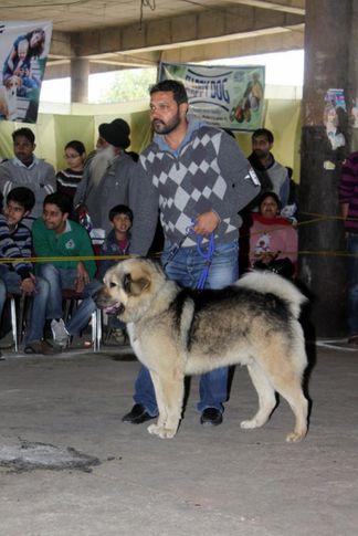 sw-82,tibetan mastiff,, Jalandhar Show 2013, DogSpot.in