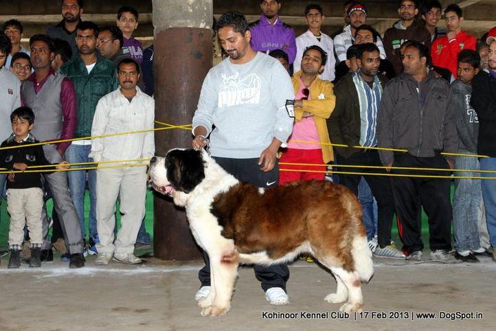 stbernard,sw-82,, Jalandhar Show 2013, DogSpot.in