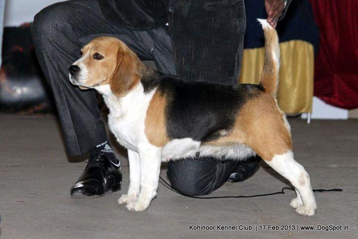 beagle,sw-82,ex-40, STOP MAN, Beagle, DogSpot.in