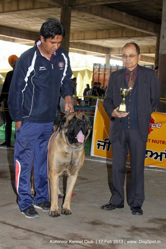 mastiff,sw-82,, Jalandhar Show 2013, DogSpot.in