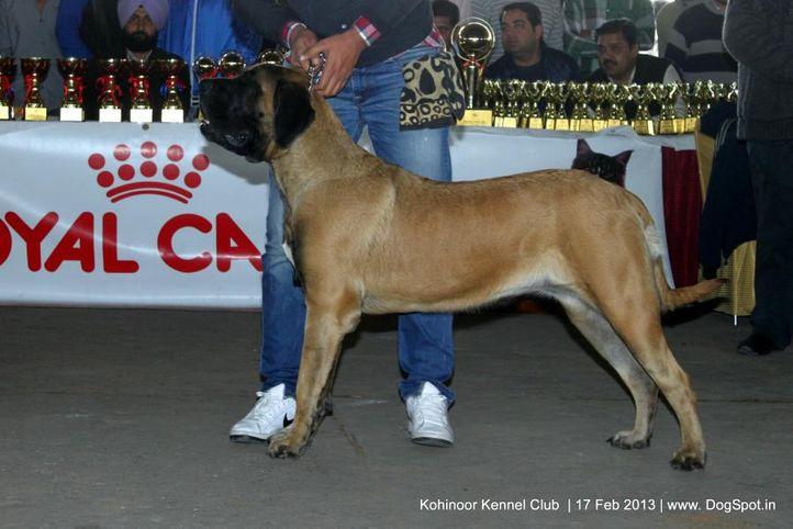 ex-130,mastiff,sw-82,, GINGER, Mastiff- English, DogSpot.in