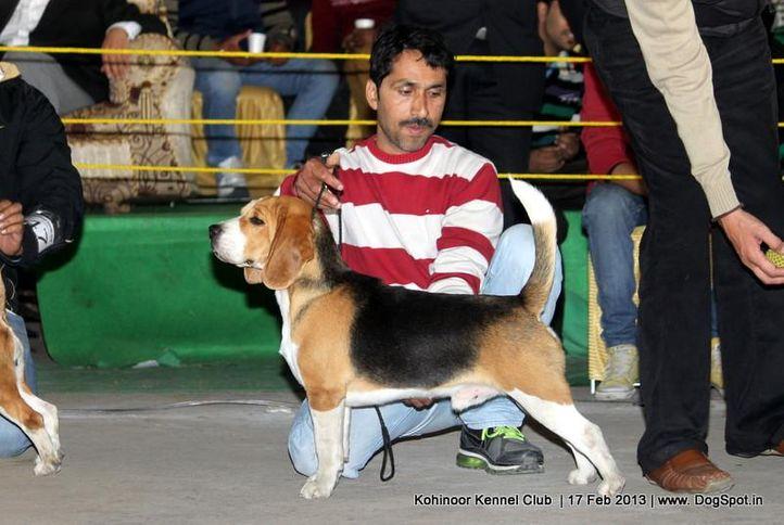 beagle,sw-82,, Jalandhar Show 2013, DogSpot.in