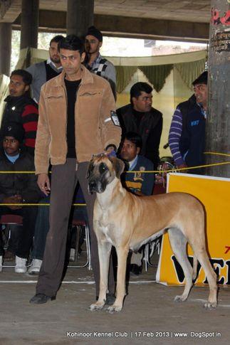 great dane,sw-82,, Jalandhar Show 2013, DogSpot.in