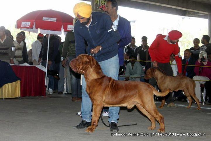 dogue de bordeaux,ex-112,sw-82,, TINKU, Dogue De Bordeaux, DogSpot.in