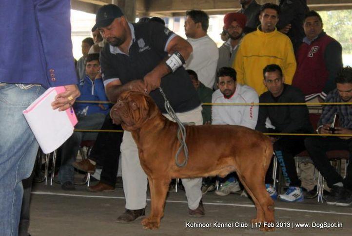 dogue de bordeaux,ex-113,sw-82,, CHIEF, Dogue De Bordeaux, DogSpot.in