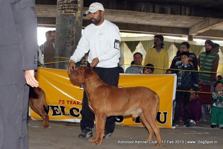 dogue de bordeaux,ex-116,sw-82,, DOG'S LAND DAKAR, Dogue De Bordeaux, DogSpot.in