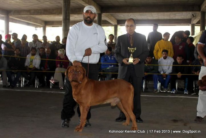 dogue de bordeaux,ex-116,sw-82,, DOG'S LAND DAKAR, Dogue De Bordeaux, DogSpot.in