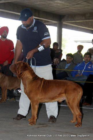 dogue de bordeaux,sw-82,, Jalandhar Show 2013, DogSpot.in