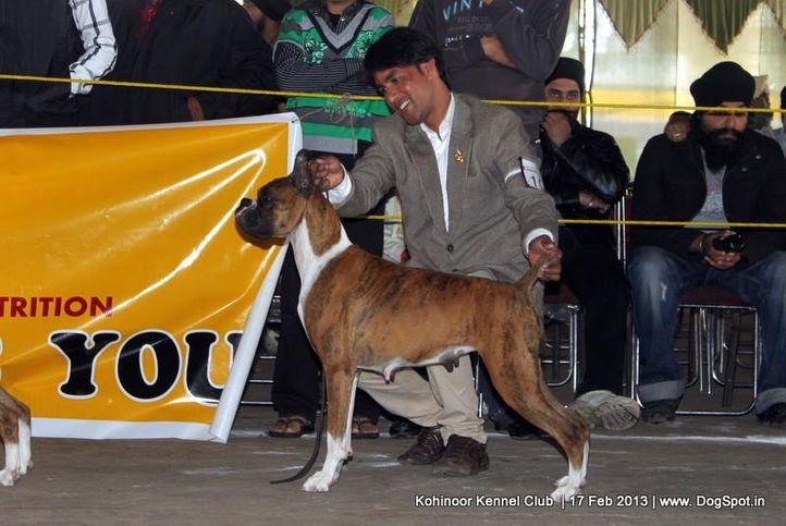 boxer,ex-100,sw-82,, WALGRE'S MYSTRY, Boxer, DogSpot.in