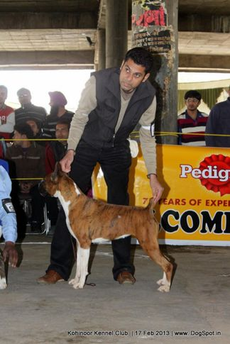 boxer,ex-95,sw-82,, OSPREY'S WILLY, Boxer, DogSpot.in