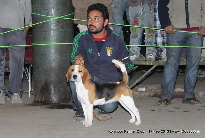 beagle,ex-42,sw-82,, ON TARGET, Beagle, DogSpot.in