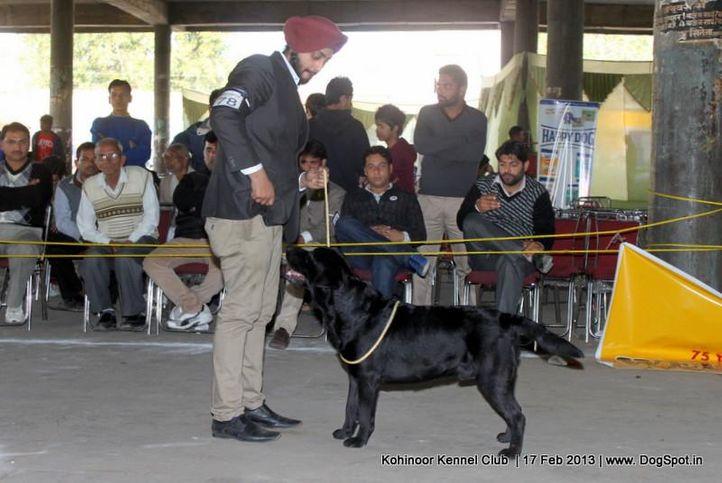 ex-78,labrador retriever,sw-82,, SPICE'S BLACK BOY, Labrador Retriever, DogSpot.in