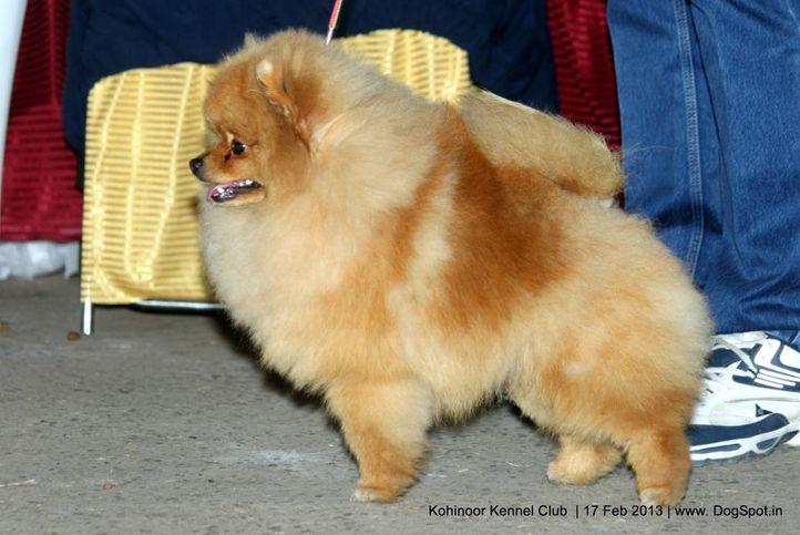 ex-5,pomeranian,sw-82,, WILLKAREN'S YOYO MAN, Pomeranian, DogSpot.in