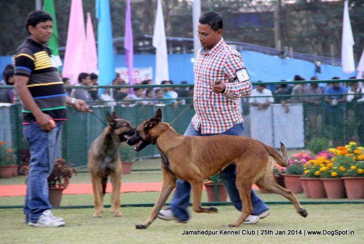 belgian shepherd,ex-13,sw-114,, Jamshedpur Dog Show 2014, DogSpot.in