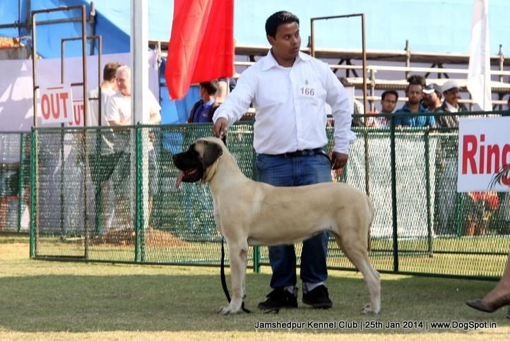 english mastiff,ex-166,sw-114,, Jamshedpur Dog Show 2014, DogSpot.in