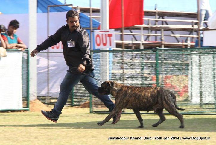 bull mastiff,ex-165,sw-114,, Jamshedpur Dog Show 2014, DogSpot.in