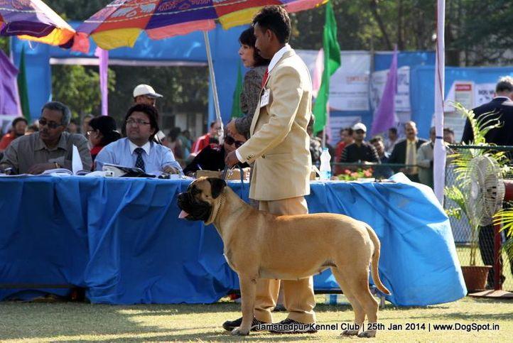 bull mastiff,ex-163,sw-114,, Jamshedpur Dog Show 2014, DogSpot.in