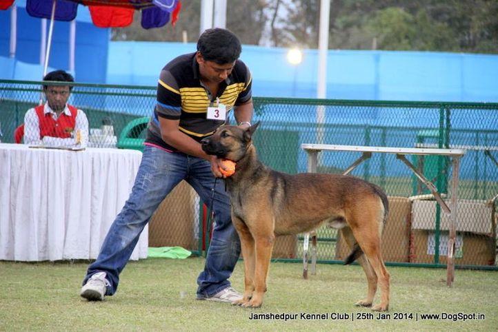 belgian shepherd,ex-3,sw-114,, Jamshedpur Dog Show 2014, DogSpot.in