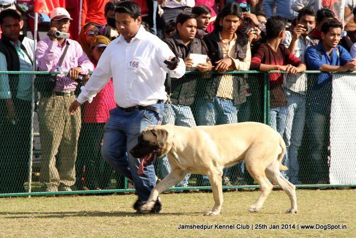 english mastiff,ex-166,sw-114,, Jamshedpur Dog Show 2014, DogSpot.in
