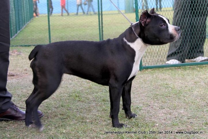 american staffordshire terrier,ex-175,sw-114,, Jamshedpur Dog Show 2014, DogSpot.in