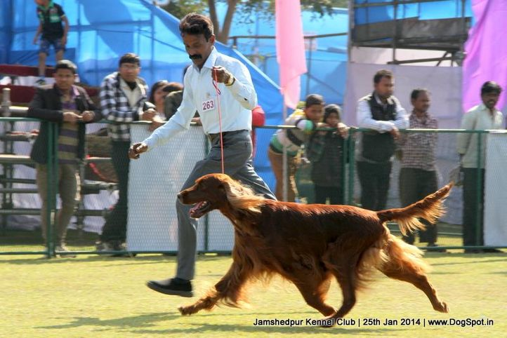 ex-263,irish setter,sw-114,, Jamshedpur Dog Show 2014, DogSpot.in