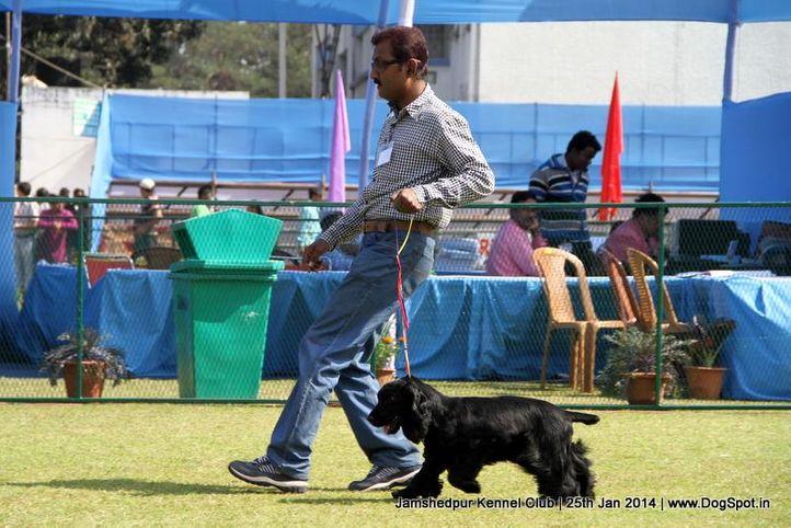 cocker spaniel,ex-350,sw-114,, Jamshedpur Dog Show 2014, DogSpot.in