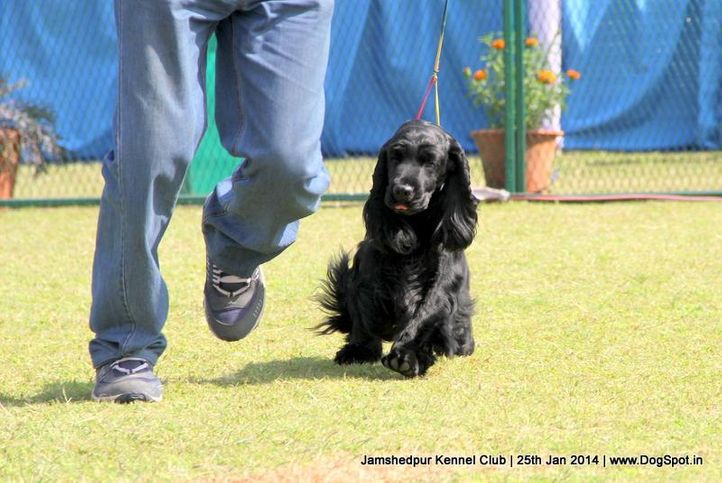 cocker spaniel,ex-350,sw-114,, Jamshedpur Dog Show 2014, DogSpot.in