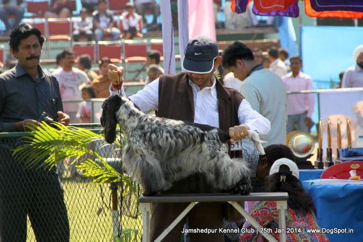 cocker spaniel,ex-351,sw-114,, Jamshedpur Dog Show 2014, DogSpot.in