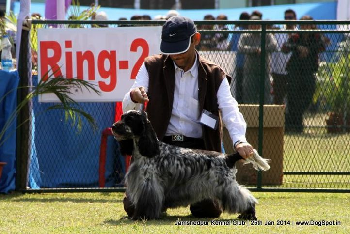 cocker spaniel,ex-351,sw-114,, Jamshedpur Dog Show 2014, DogSpot.in