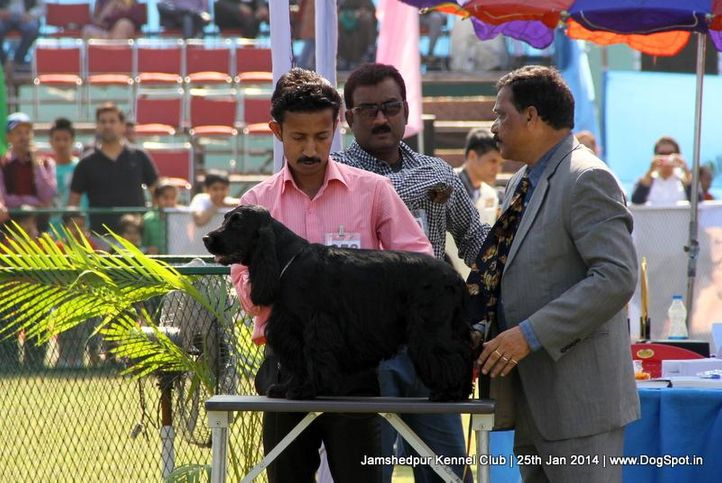 cocker spaniel,ex-353,sw-114,, Jamshedpur Dog Show 2014, DogSpot.in