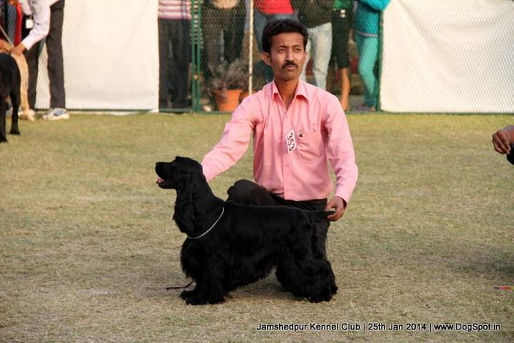 cocker spaniel,ex-353,sw-114,, Jamshedpur Dog Show 2014, DogSpot.in