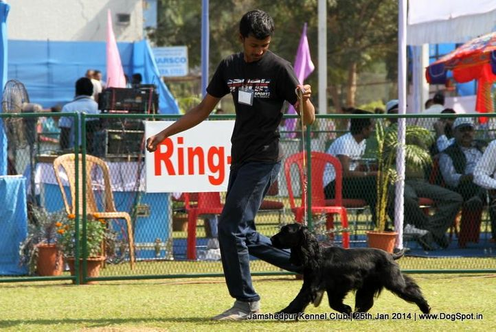 cocker spaniel,ex-354,sw-114,, Jamshedpur Dog Show 2014, DogSpot.in