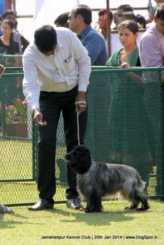 cocker spaniel,ex-355,sw-114,, Jamshedpur Dog Show 2014, DogSpot.in
