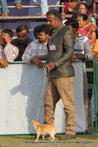 chihuahua,ex-362,sw-114,, Jamshedpur Dog Show 2014, DogSpot.in