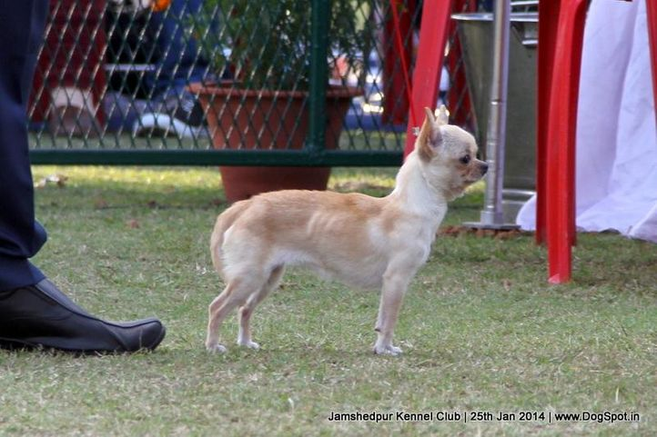 chihuahua,ex-363,sw-114,, Jamshedpur Dog Show 2014, DogSpot.in