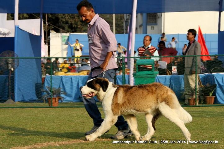 ex-170,st bernard,sw-114,, Jamshedpur Dog Show 2014, DogSpot.in