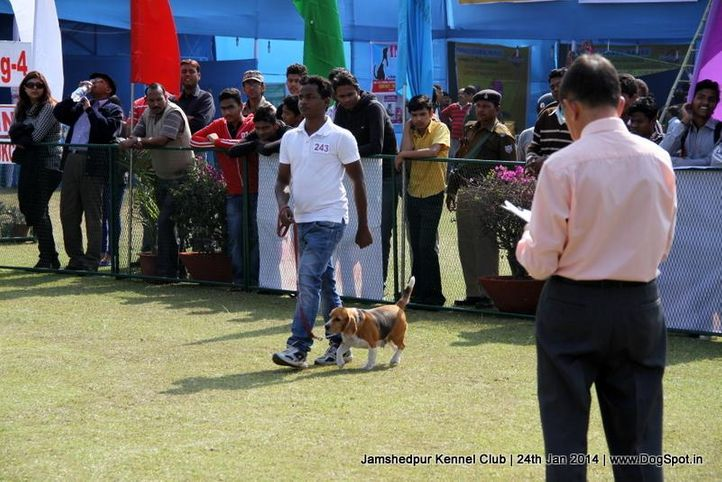 beagle,, Jamshedpur Obedience Dog Show 2014 , DogSpot.in