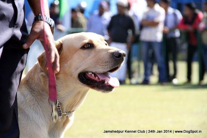 labrador retriever,, Jamshedpur Obedience Dog Show 2014 , DogSpot.in