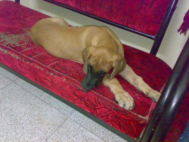 , JILLU/DANE/BORN/15/11/2009/REG  NO/2009/032919, DogSpot.in