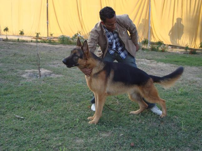 JOJO (german shephard) mob. 9215641038, JOJO (german shephard) mob. 9215641038, DogSpot.in