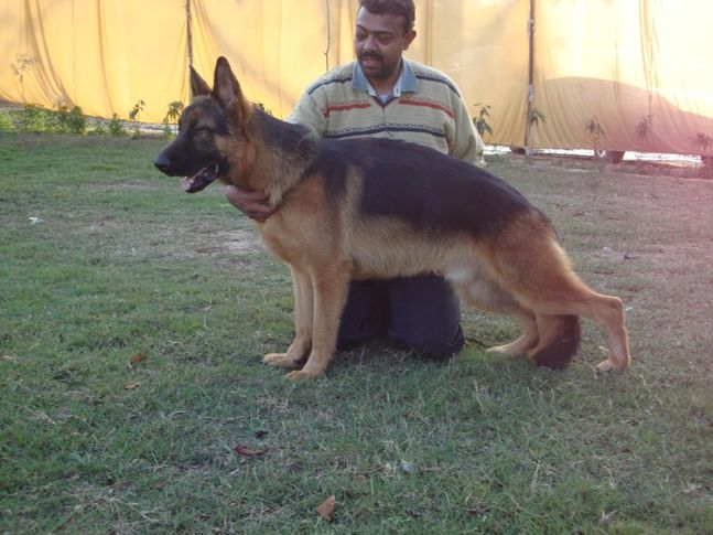 JOJO (german shephard) mob. 9215641038, JOJO (german shephard) mob. 9215641038, DogSpot.in