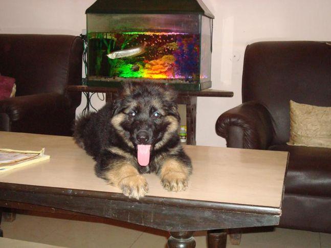 jorawar, jorawar, DogSpot.in