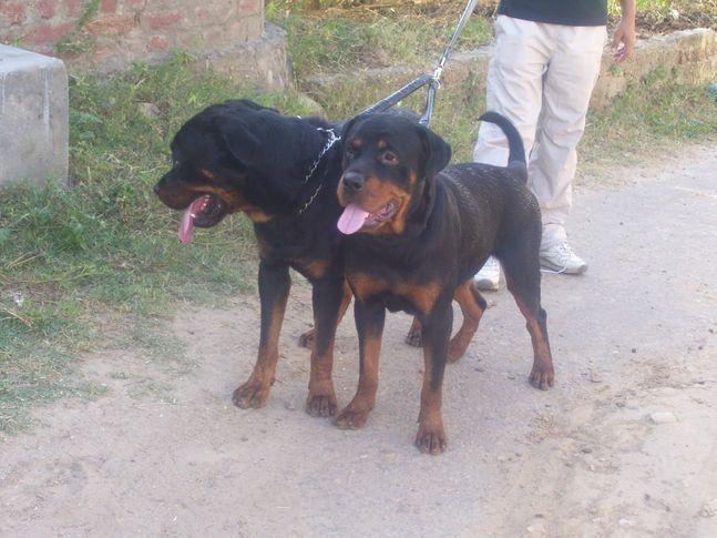 , k9guards, DogSpot.in
